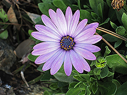 Soprano Light Purple African Daisy (Osteospermum 'Soprano Light Purple') at Snavely's Garden Corner