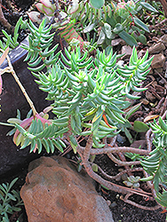 Miniature Pine Tree (Crassula tetragona) at Snavely's Garden Corner