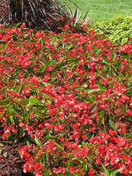 Dragon Wing Red Begonia (Begonia 'Dragon Wing Red') at Snavely's Garden Corner