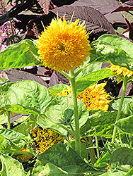 Teddy Bear Annual Sunflower (Helianthus annuus 'Teddy Bear') at Snavely's Garden Corner