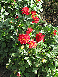 Figaro™ Red Shades Dahlia (Dahlia 'Figaro Red Shades') at Snavely's Garden Corner