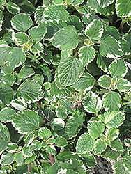 Swedish Ivy (Plectranthus forsteri 'Marginatus') at Snavely's Garden Corner