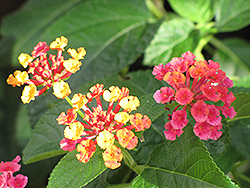 Luscious® Citrus Blend™ Lantana (Lantana camara 'Luscious Citrus Blend') at Snavely's Garden Corner