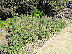 Creeping Germander (Teucrium chamaedrys) at Snavely's Garden Corner