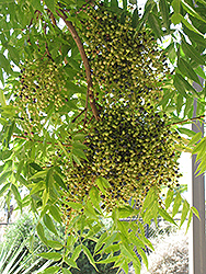 Chinese Pistache (Pistacia chinensis) at Snavely's Garden Corner