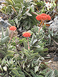 Airplane Plant (Crassula falcata) at Snavely's Garden Corner
