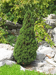 Jean's Dilly Spruce (Picea glauca 'Jean's Dilly') at Snavely's Garden Corner