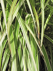 Morning Light Maiden Grass (Miscanthus sinensis 'Morning Light') at Snavely's Garden Corner