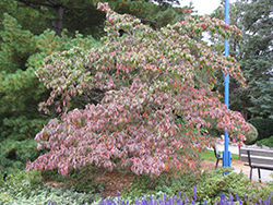 Chinese Dogwood (Cornus kousa) at Snavely's Garden Corner
