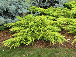 Daub's Frosted Juniper (Juniperus x media 'Daub's Frosted') at Snavely's Garden Corner
