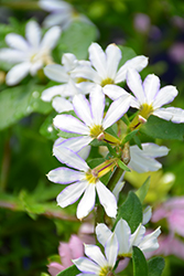 Whirlwind® White Fan Flower (Scaevola aemula 'Whirlwind White') at Snavely's Garden Corner