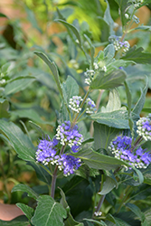 Beyond Midnight® Caryopteris (Caryopteris x clandonensis 'CT-9-12') at Snavely's Garden Corner