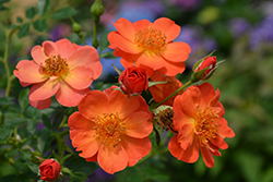 Oso Easy® Paprika Rose (Rosa 'ChewMayTime') at Snavely's Garden Corner
