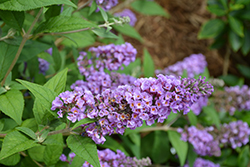 Lo And Behold® Blue Chip Dwarf Butterfly Bush (Buddleia 'Lo And Behold Blue Chip') at Snavely's Garden Corner