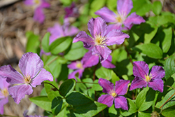 Jolly Good™ Clematis (Clematis 'Zojogo') at Snavely's Garden Corner