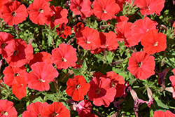 Supertunia® Really Red Petunia (Petunia 'Sunremi') at Snavely's Garden Corner
