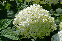 Incrediball® Hydrangea (Hydrangea arborescens 'Abetwo') at Snavely's Garden Corner