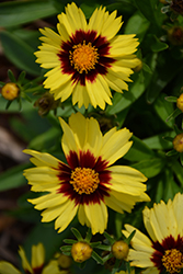 UpTick™ Yellow and Red Tickseed (Coreopsis 'Baluptowed') at Snavely's Garden Corner