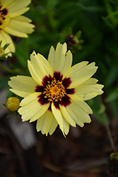 UpTick™ Cream and Red Tickseed (Coreopsis 'Balupteamed') at Snavely's Garden Corner