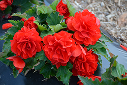 Nonstop® Red Begonia (Begonia 'Nonstop Red') at Snavely's Garden Corner