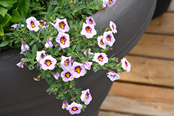 Superbells® Morning Star™ Calibrachoa (Calibrachoa 'BBCAL27801') at Snavely's Garden Corner