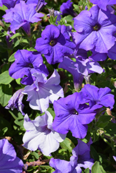 Surfinia® Heavenly Blue Petunia (Petunia 'Surfinia Heavenly Blue') at Snavely's Garden Corner