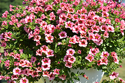 Superbells® Strawberry Punch™ Calibrachoa (Calibrachoa 'USCAL58205') at Snavely's Garden Corner