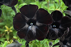 Sweetunia Black Satin Petunia (Petunia 'Sweetunia Black Satin') at Snavely's Garden Corner