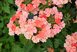 Superbena® Royale Peachy Keen Verbena (Verbena 'Superbena Royale Peachy Keen') at Snavely's Garden Corner