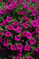 MiniFamous® Purple Calibrachoa (Calibrachoa 'MiniFamous Purple') at Snavely's Garden Corner