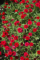 MiniFamous® Double Red Calibrachoa (Calibrachoa 'MiniFamous Double Red') at Snavely's Garden Corner