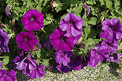 Surfinia® Giant Blue Petunia (Petunia 'Surfinia Giant Blue') at Snavely's Garden Corner