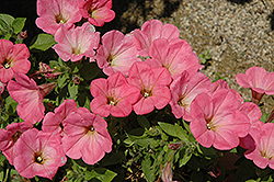 Happy Classic Coral Petunia (Petunia 'Happy Classic Coral') at Snavely's Garden Corner