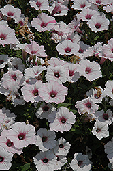 Supertunia Vista® Silverberry Petunia (Petunia 'Supertunia Vista Silverberry') at Snavely's Garden Corner