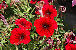 Crazytunia® Red Blues Petunia (Petunia 'Crazytunia Red Blues') at Snavely's Garden Corner