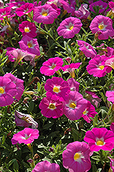 SuperCal® Pink Ice Petchoa (Petchoa 'SuperCal Pink Ice') at Snavely's Garden Corner