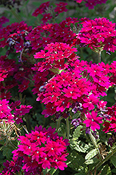 Superbena® Royale Plum Wine Verbena (Verbena 'Superbena Royale Plum Wine') at Snavely's Garden Corner