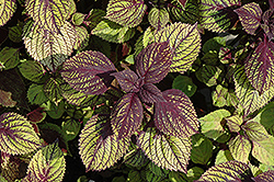 Fishnet Stockings Coleus (Solenostemon scutellarioides 'Fishnet Stockings') at Snavely's Garden Corner