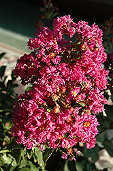 Coral Magic Crapemyrtle (Lagerstroemia 'Coral Magic') at Snavely's Garden Corner