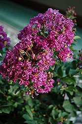 Purple Magic Crapemyrtle (Lagerstroemia 'Purple Magic') at Snavely's Garden Corner