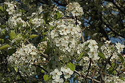 Cleveland Select Ornamental Pear (Pyrus calleryana 'Cleveland Select') at Snavely's Garden Corner