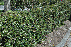Dragon Lady Holly (Ilex x aquipernyi 'Meschick') at Snavely's Garden Corner