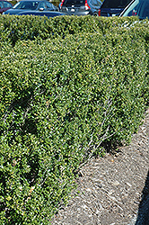 Steeds Japanese Holly (Ilex crenata 'Steeds') at Snavely's Garden Corner