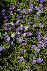 Grecian Windflower (Anemone blanda) at Snavely's Garden Corner