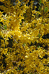 Lynwood Gold Forsythia (Forsythia x intermedia 'Lynwood Gold') at Snavely's Garden Corner