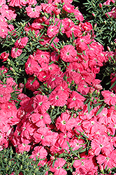 Diana Pink Dianthus (Dianthus chinensis 'Diana Pink') at Snavely's Garden Corner