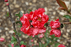 Double Take Pink™ Flowering Quince (Chaenomeles speciosa 'Double Take Pink Storm') at Snavely's Garden Corner