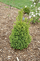 Green Mountain Boxwood (Buxus 'Green Mountain') at Snavely's Garden Corner