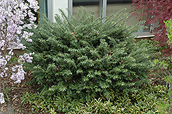 Duke Gardens Plum Yew (Cephalotaxus harringtonia 'Duke Gardens') at Snavely's Garden Corner