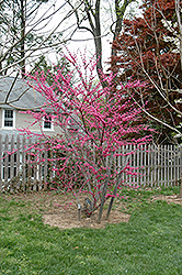 Appalachian Red Redbud (Cercis canadensis 'Appalachian Red') at Snavely's Garden Corner